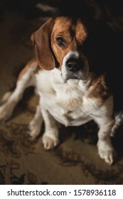 An indoor portrait of a beagle dog.
