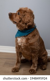 indoor portrait of a cocker spaniel dog. He is wearing a blue bandana.