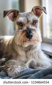 Indoor portrait of a miniature schnauzer, also known as Zwergschnauzer, wating by the window.