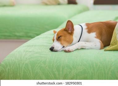 Indoor portrait of sleeping basenji