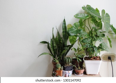 Indoor pot plants are placed in the house to help purify the air. And absorb toxins in the air.