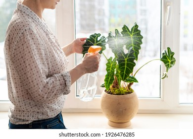 Indoor potted fresh plants on the windowsill in the sunlight. Woman spraying with water green leaves of Alocasia amazonica Polly Elephant Ear