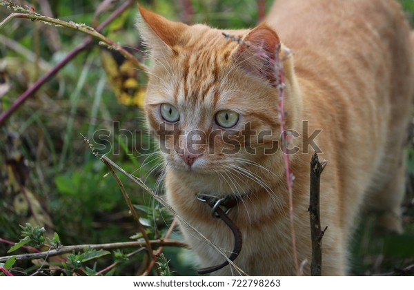 indoor-red-cat-walking-grass-600w-722798