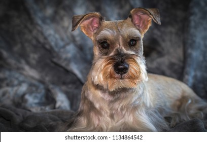 Indoor studio portrait of a miniature schnauzer, also known as Zwergschnauzer.