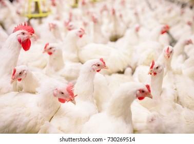 Indoors chicken farm, chicken feeding