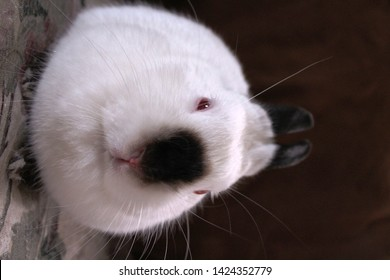 Indoors, close-up portrait of white Himalayan dwarf pet rabbit with red eyes, black ears, black feet, black nose and black tail.