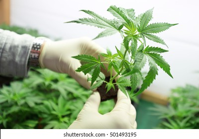 Indoors marijuana growing, cannabis