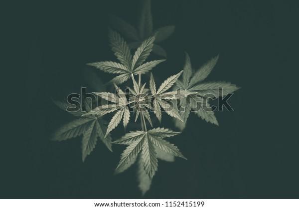Indoors marijuana growing, cannabis