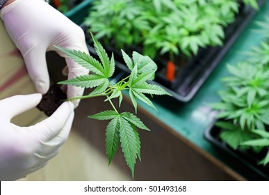 Indoors marijuana growing, planting cannabis, holding it in a hand