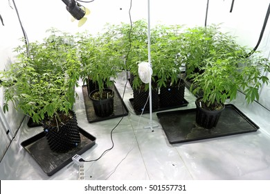 Indoors marijuana growing, using ventilator and lights