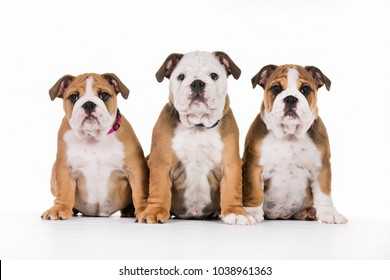 Indoors studio shot of purebred Mops dogs on white background.