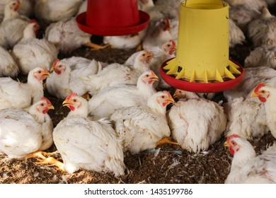 Poultry Feed Images, Stock Photos & Vectors | Shutterstock