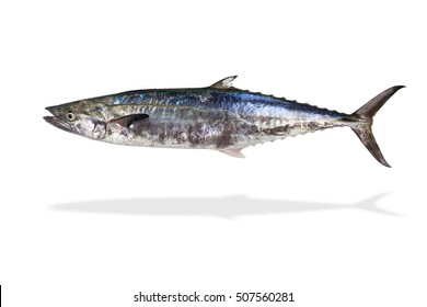 Indo-Pacific king mackerels, Spotted mackerels, Seerfish,Scomberomorus,giant mackerel fish isolated on white