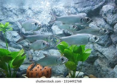 Indo-Pacific tarpon, Pacific tarpon, Oxeye. School of fish in Aquarium, Thailand
