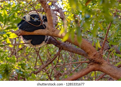 The indri, also called the babakoto, is one of the largest living lemurs. Black and white lemur sitting on the tree.