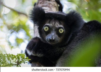 An Indri indri lemur stars down the lens. Portrait showing the head and staring green eyes. One of the largest lemurs, it has no tail but one of the loudest calls in the animal kingdom