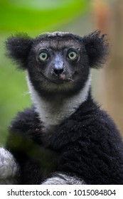 Indri - Indri indri, rain forest Madagascar east coast. Cute primate. Madagascar endemite. The largest lemur.