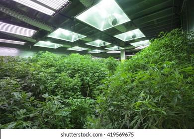 Industrial Cannabis Grow Operation