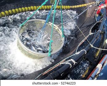 industrial giltheads (Sparus aurata) fishing