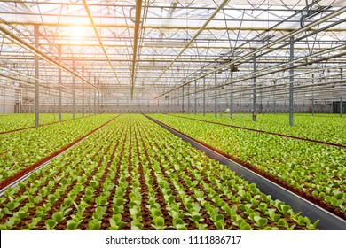 Industrial greenhouse with rows of cultivation.