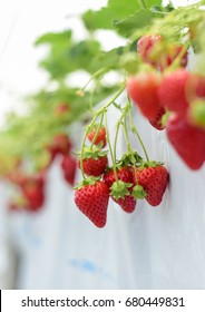 Industrial growth of strawberries in Japan farm