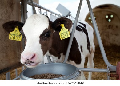 industrial livestock. calves in cattle farm