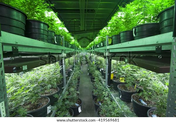 Industrial Marijuana Grow Operation