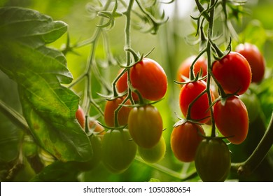 Industrial tomato plantation.