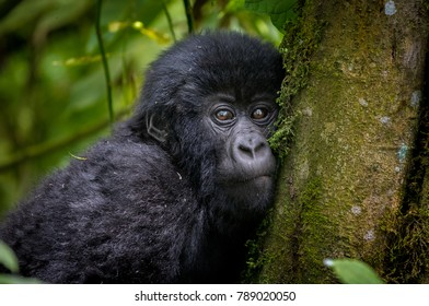 An infant mountain gorilla in a National Park in Rwanda