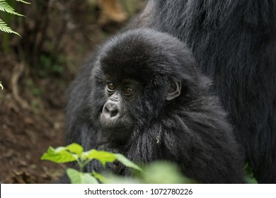 An infant mountain gorilla in Volcanoes National Park in Rwanda
