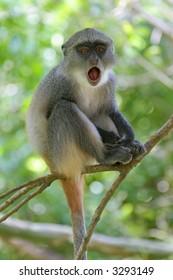 Infant of Sykes monkey, Cercopithecus mitis albogularis, yawning