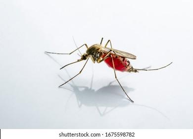 Infected Culex Mosquito on White Background, Leishmaniasis, Encephalitis, Yellow Fever, Mayaro Disease, Malaria, Zika, EEEV or EEE Virus Infectious Mosquito Parasite Insect Macro