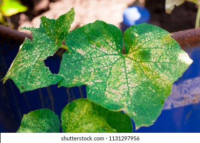 infectious diseases affecting the leaves of cucumbers in autumn and summer during flowering from lack of water and microbes
