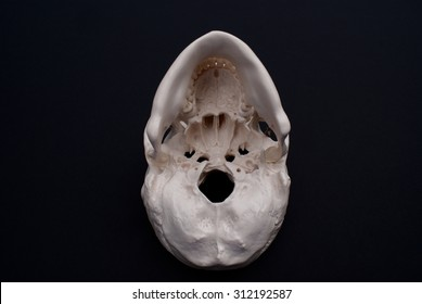 Inferior View of Skull on Black Background