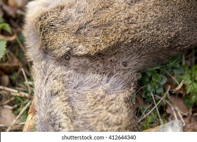 Infestation of parasitic ticks feeding on the neck of a young, freshly dead deer. Many species, different shapes and sizes, amongst the fur.