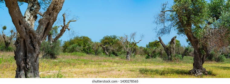 Infested olive trees (bacterium Xylella Fastidiosa), Salento, South Italy