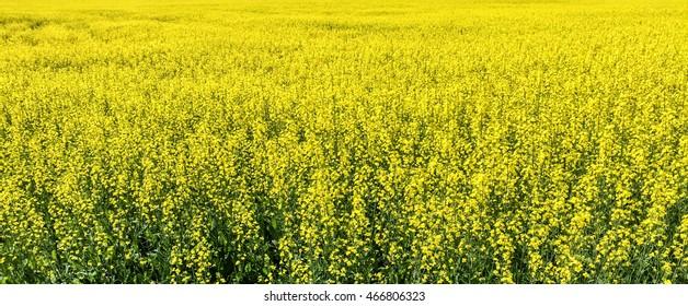 infinite field of bright yellow flowering canola
