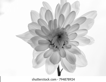 Infinity black and white flower