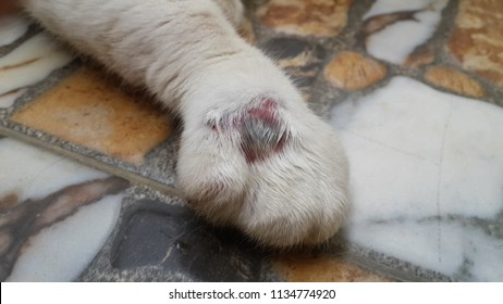 inflammation and abscess on the foot of a cat, sick cat