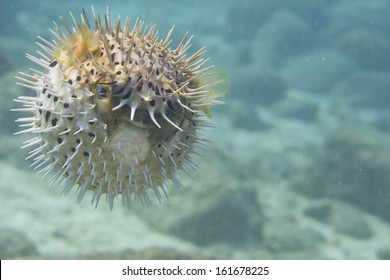 Inflated porcupine fish