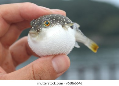 inflated pretty grass puffer