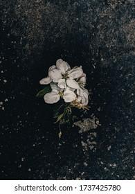 inflorescence d'un pommier sur fond sombre