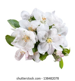 Inflorescence apples flower with green leaves isolated on a white background