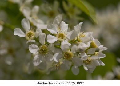 The inflorescence of bird cherry, spring blue sky, Russia, Yasnaya Polyana, flowers blooming in the garden.
