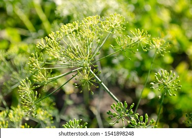 Inflorescence of dill in the garden closeup. Fragrant dill on the garden. Umbrella dill closeup. Fennel is a fragrant plant used in cooking and traditional medicine.