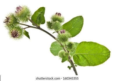 Inflorescence of Greater Burdock. on white background. One picture from series.