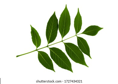 inflorescence of green leaves of ash tree isolated on white background