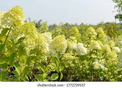 Inflorescence of ornamental shrubs Hydrangea paniculata 'Limelight' in summer. Photo for the catalog of plants of the garden center or plant nursery. Sale of green space.