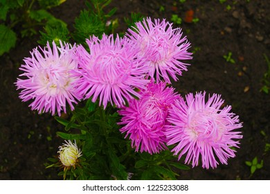 Inflorescence pink asters bathed in the morning dew of the city park. Inflorescence of pink asters on an isolated background