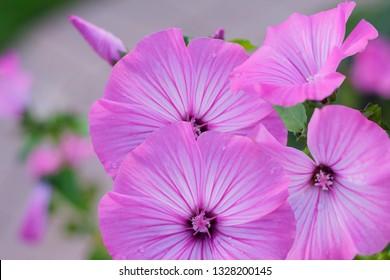 Inflorescence of pink flowers of Annual mallow (Lavatera trimestris). Also know as rose mallow, royal mallow and regal mallow. Background.